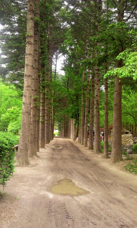 남이섬의 메타스콰이어 쭉 뻗은 나무길